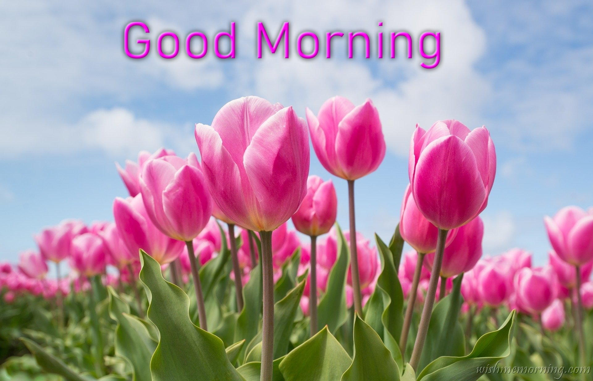 Bunch of Pink Tulip Flower Under Cloudy Sky Good Morning Wish