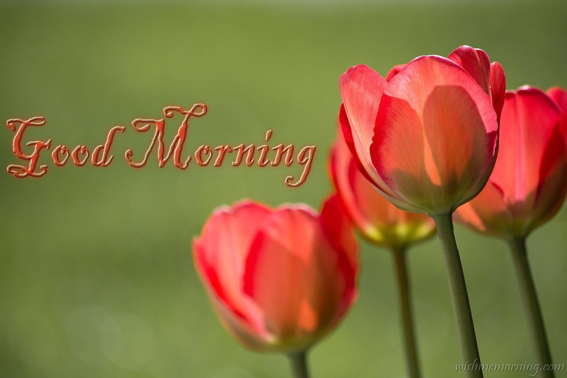 Red Tulip Flower Over Green Background Good Morning Wish
