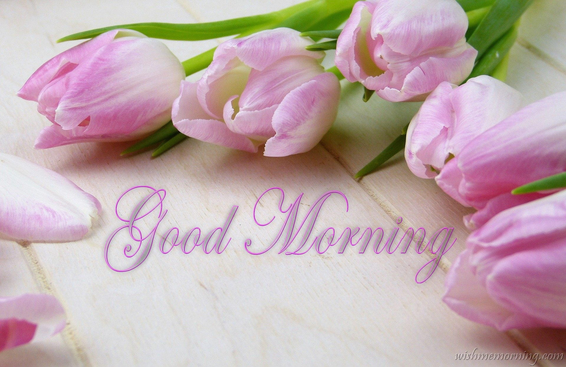 Violet Pink Tulip Flower on Table Good Morning Wish