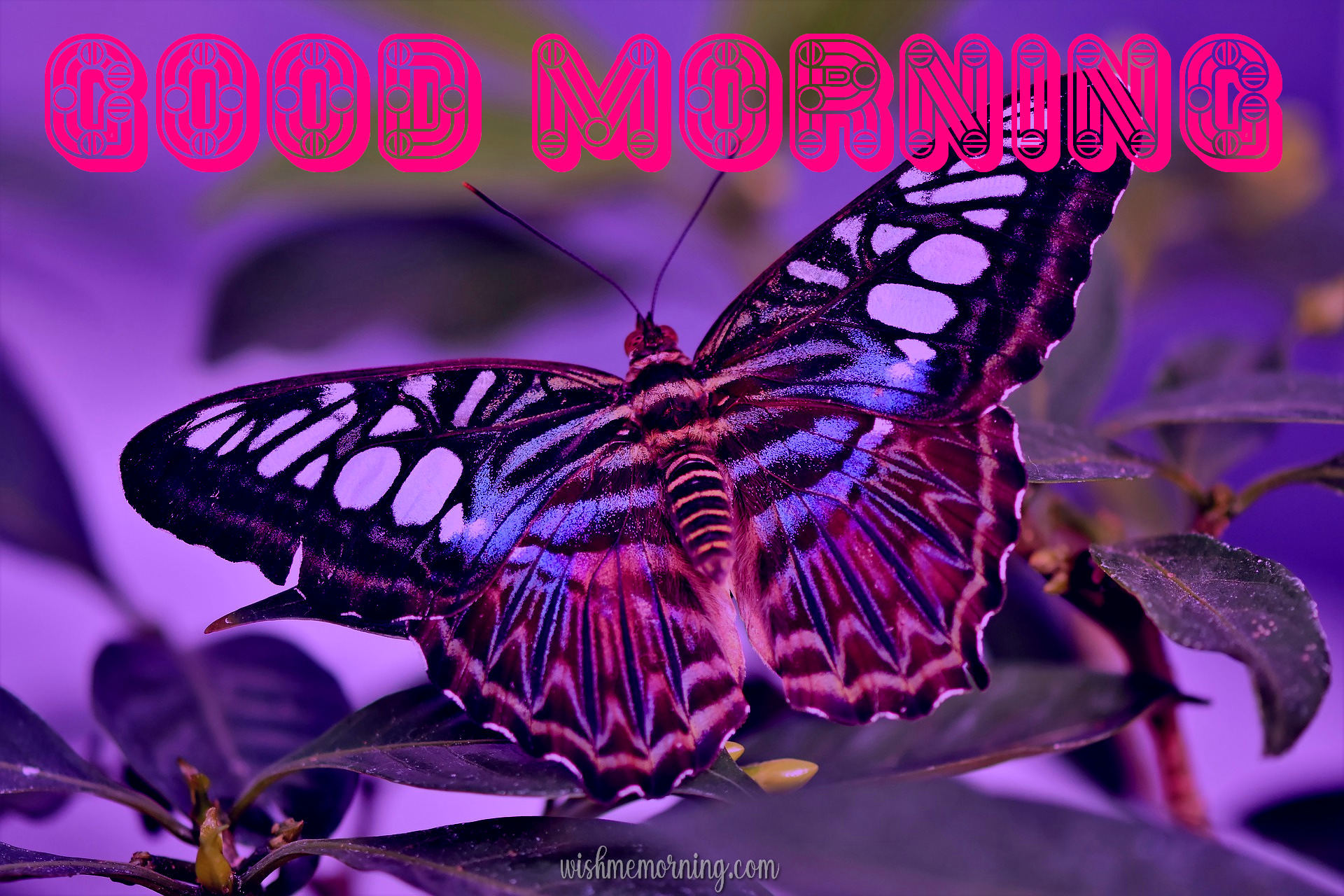 Beautiful Butterfly Good Morning Images wishmemorning.com 10