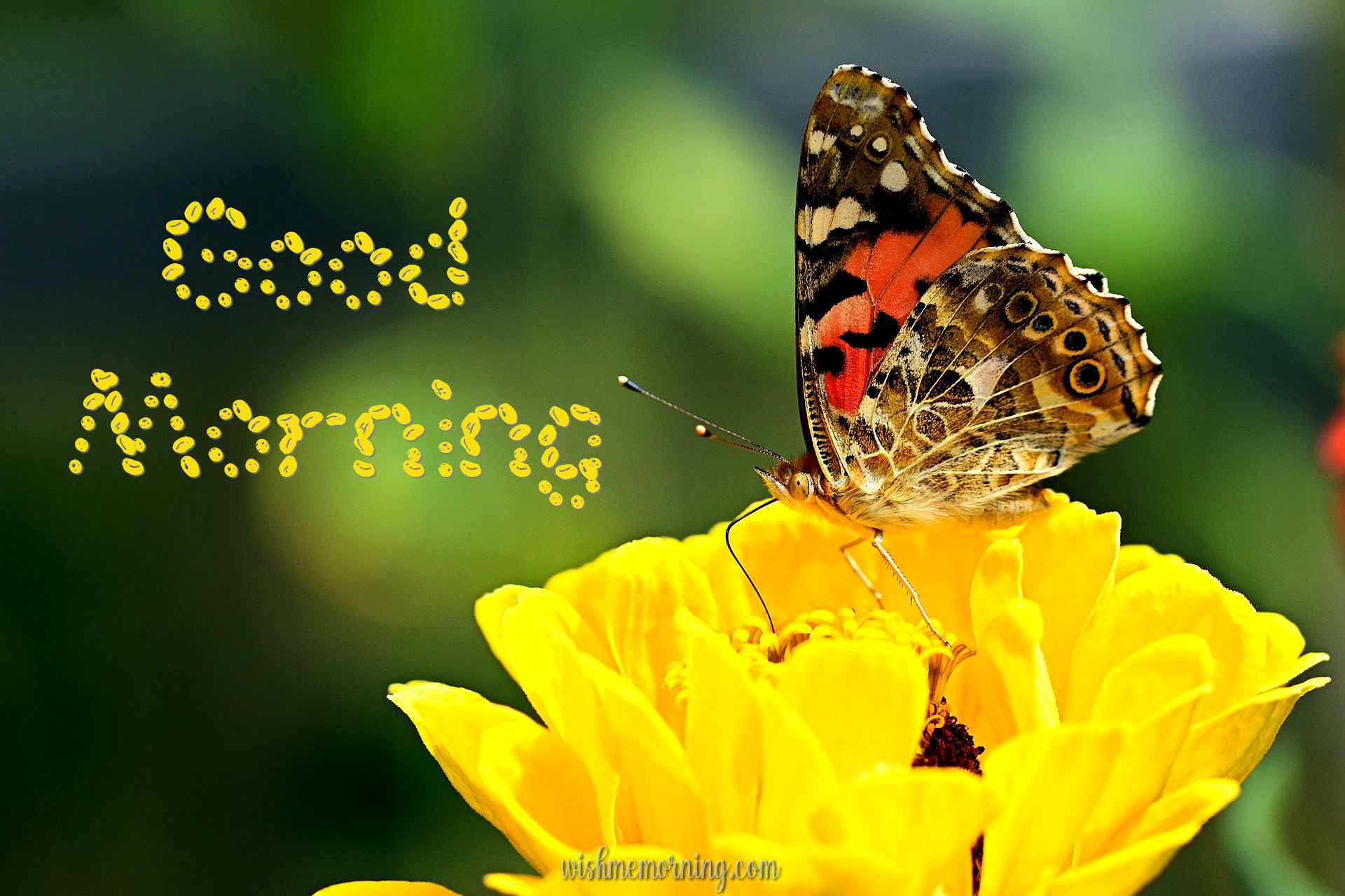 Beautiful Butterfly Good Morning Images wishmemorning.com 12