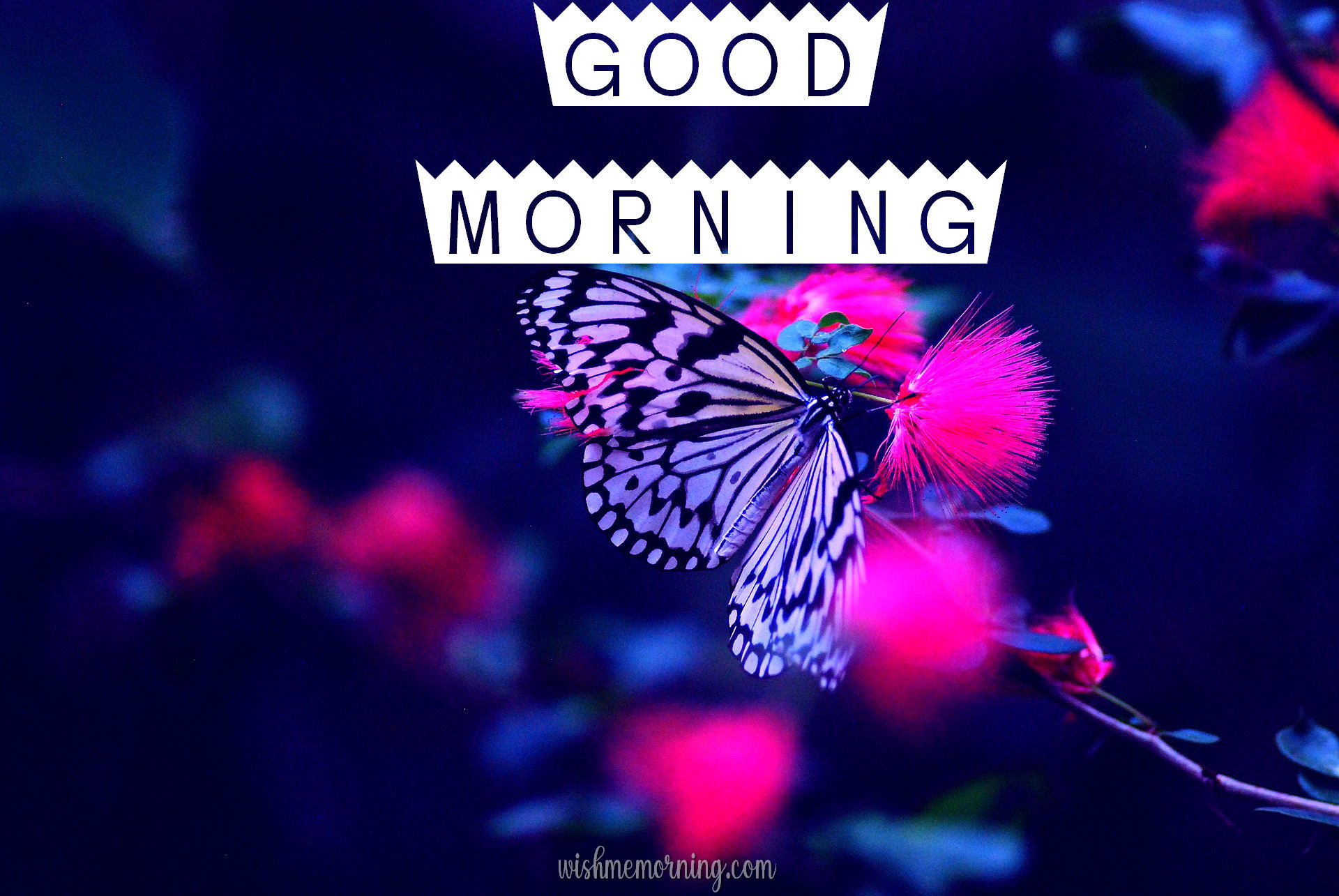 Beautiful Butterfly Good Morning Images wishmemorning.com 16