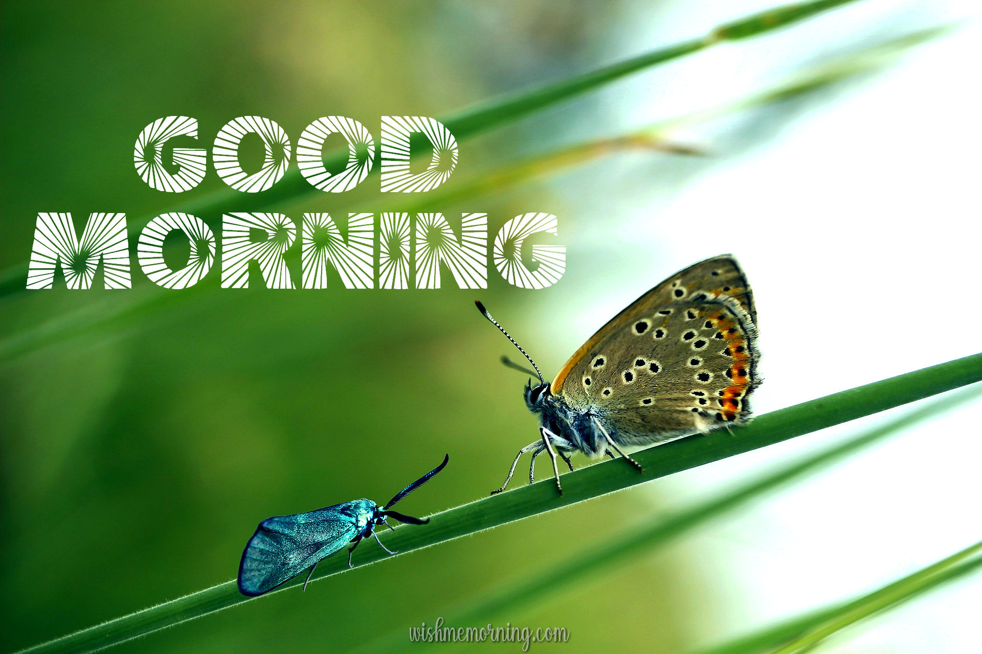 Beautiful Butterfly Good Morning Images wishmemorning.com 17