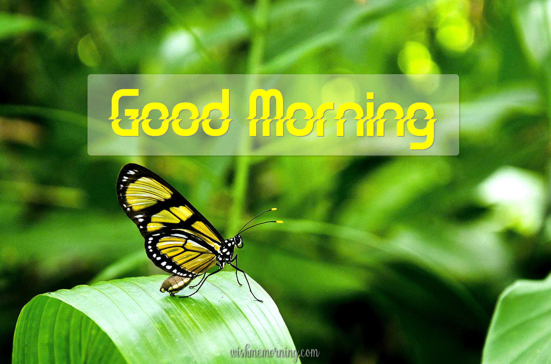 Beautiful Butterfly Good Morning Images wishmemorning.com 2