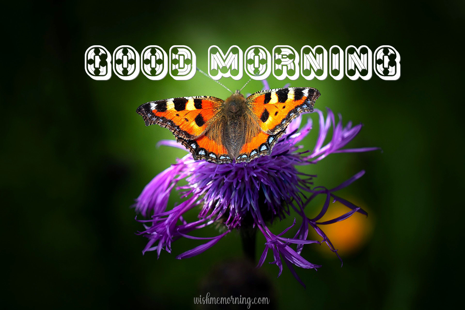 Beautiful Butterfly Good Morning Images wishmemorning.com 23