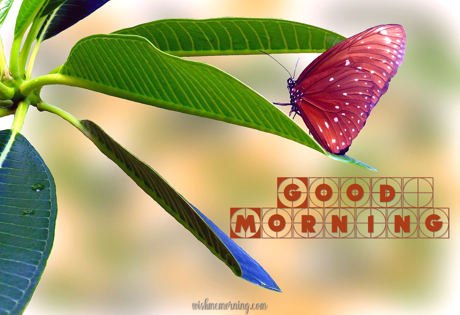 Beautiful Butterfly Good Morning Images wishmemorning.com 3